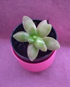 pozsgás mini növény